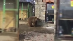 """""""Зоопарк"""" у трассы: в Дагестане медвежат посадили на цепи у придорожного магазина"""