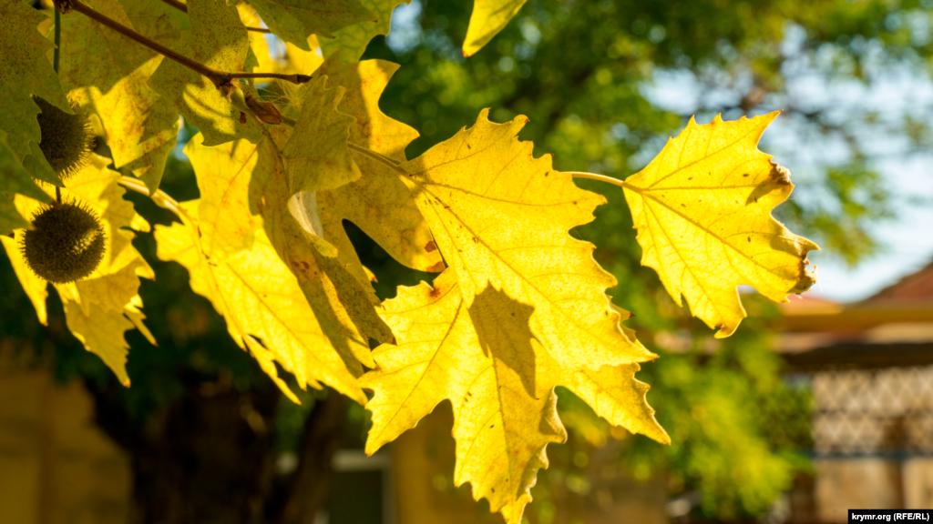 Пожовкле листя міських платанів