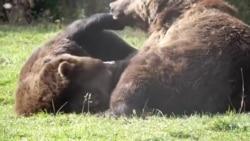 Urși din rezervația de la Zărnești