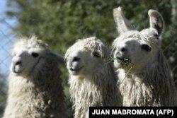 У этих лам в Аргентине уже есть иммунитет к SARS-CoV-2