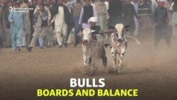 Pakistan's Bull-Racing Boy Wins New Fan