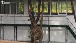Тошкент ҳайвонот боғига илк жирафа келтирилди
