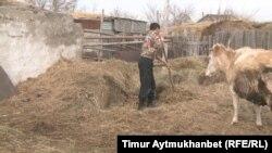 Алты баласын жалғыз өзі бағып отырған Жолқұдық ауылының тұрғыны Е.И. малға шөп беріп жатыр. Павлодар облысы, сәуір, 2016 жыл.
