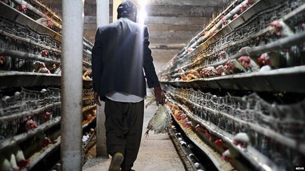 «خسارت ۳۱۰ میلیارد تومانی» بیماری آنفولانزای پرندگان به مرغداریها