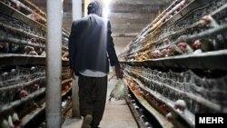 نماینده مهاباد در مجلس: نزدیک ۲۰ میلیون قطعه مرغ از بین رفته که بیش از ۸۰ درصد آن مرغ تخمگذار است