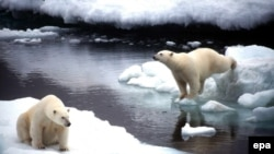 Polar Bears in Alaska