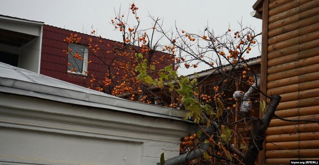 Хурма над крышами гостевых домиков и мини-пансионатов