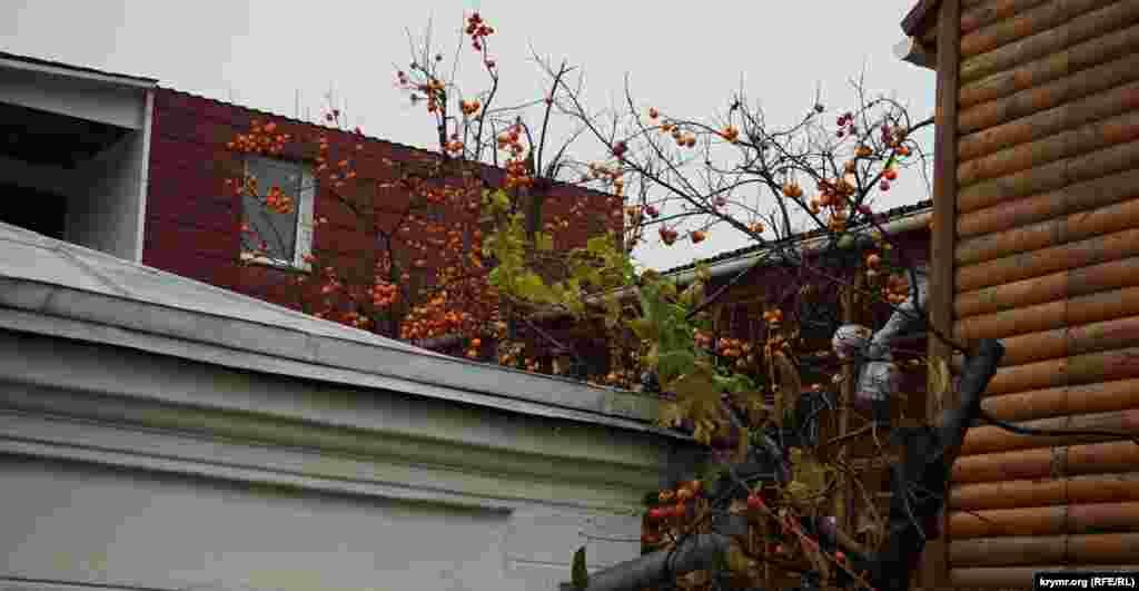 Хурма над дахами гостьових будиночків і міні-пансіонатів