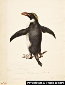 Хохлатый пингвин.