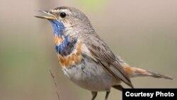 Птичье пение не способно конкурировать в радиоэфире с рок-музыкой