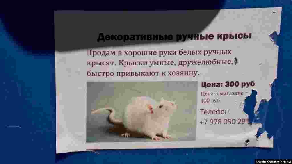 Ручных крысят в Залесном предлагают дешевле, чем в зоомагазине
