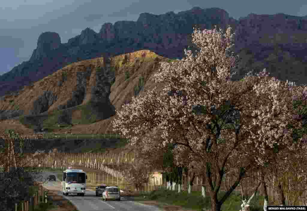 Цветущий абрикос на горной дороге Грушевка-Судак в окрестностях села Дачное