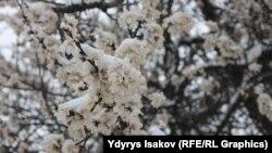 Жыл сайын өрүк гүлдөгөн маалда кар түшөт
