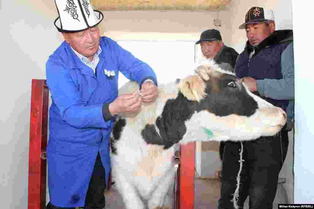 Ветеринары не только прививают скот, но и делают искусственное оплодотворение.