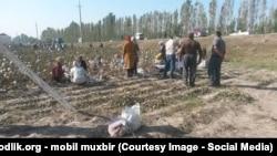 Приславший это фото в редакцию Азаттыка утверждает, что люди на хлопковом поле приклеивают собранный хлопок обратно к коробочкам хлопчатника. По словам приславшего снимок, так в селе готовились к приезду премьер-министра Узбекистана.
