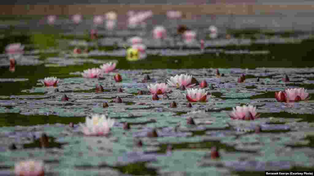 Цвітуть також і водяні лілії