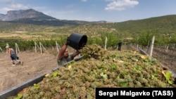 Збір урожаю на виноградниках «Масандры»