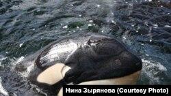 Косатки – родственники дельфинов