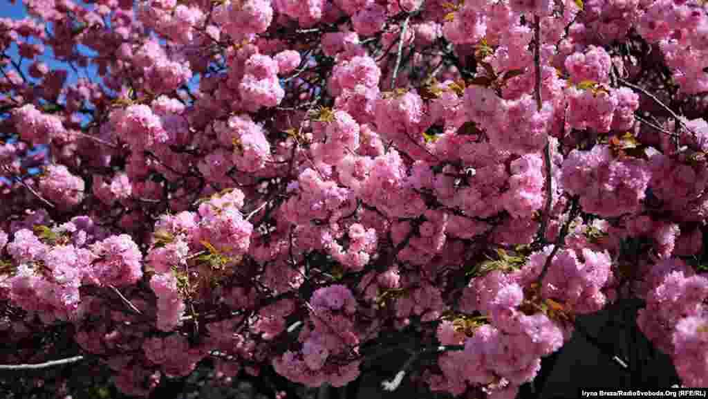 Продолжается цветение сакуры около двух недель, после этого город засыпает розовыми лепестками. Сакуру впервые завезли в Ужгород в 1923 году из Вены, и сейчас она растет во многих точках города, но больше всего – в районе набережной Ужа.
