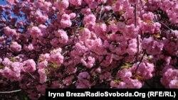 Цвітіння сакури в Ужгороді, адміністративному центрі Закарпаття