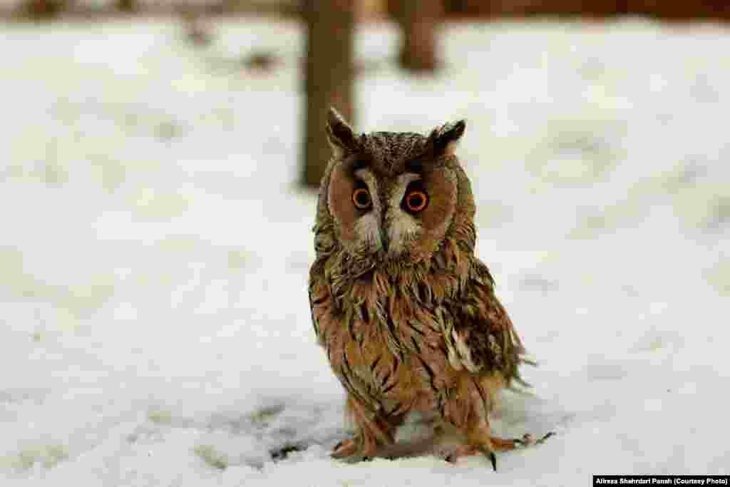 جغد شاخدار، Long eared Owl، طول بدن ۳۶ سانتيمتر، پرهای بلند روی گوش مشخصه اين پرنده است، زيستگاه: مناطق جنگلی و لانه در بالای درخت و گاهی روی زمين لانه ساخته و تخم گذاری میکنند