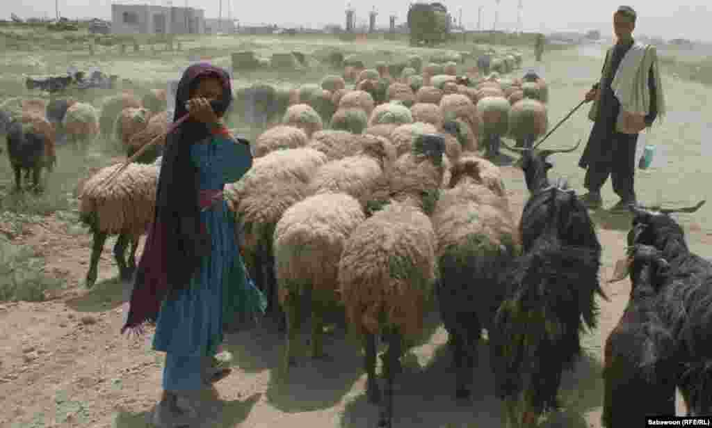 A young shepherd girl with her flock.