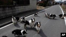 Скитащи кучета в забранената зона около Фукушима през 2011 г.