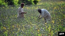 Farmers score opium poppies during a harvest in Helmand Province.