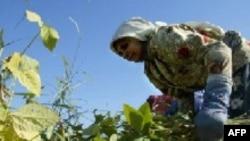 По мнению экологов, в сельском хозяйстве России стоит сделать упор на традиционные методы и сорта