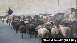 Täjigistanyň Khatlon sebitinde goýunlaryň we geçileriň sürüsi.