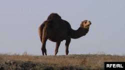 Түркістан төңірегінде жайылып жүрген түйе. Қараша, 2008 жыл