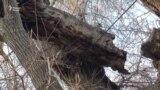 Многовековое тутовое дерево или шелковица в Худжанде нуждается в сохранении