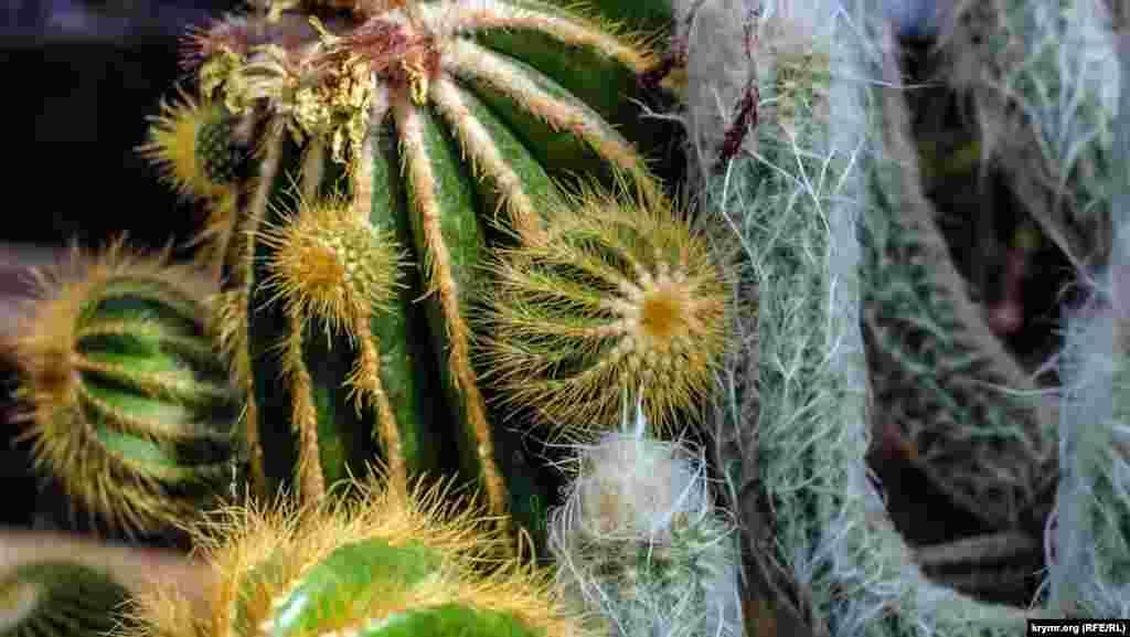 У Нікітському ботанічному саду зацвіли екзотичні кактуси і нарциси