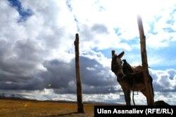 В Самарканде снова начался сезон охоты на ослов.