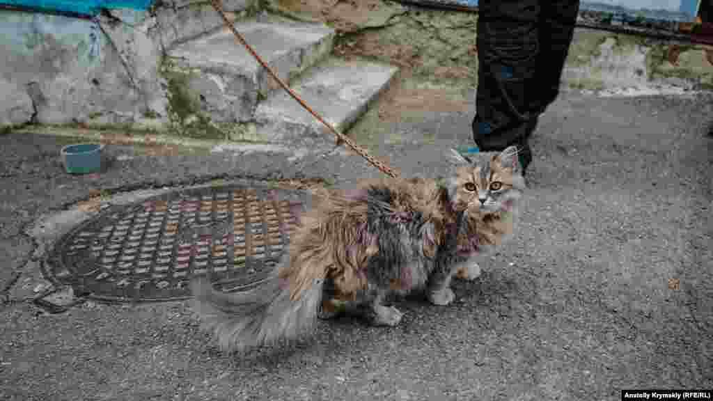 Кішку господиня тримала на прив'язі, поки сама мила вікна свого будинку