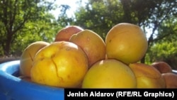 Баткенцы собирают урожай абрикосов