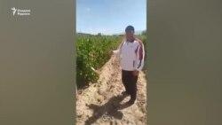 Самарқандлик фермерлар ўз узумзорларининг кластер томонидан пайҳон қилинишидан чўчимоқда