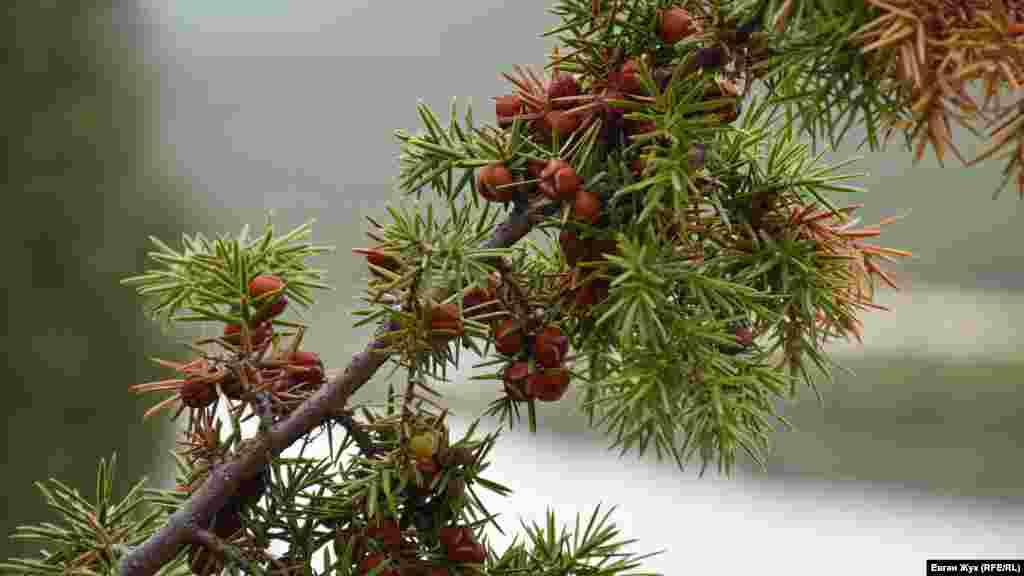 По дороге на гору на склонах растет большое количество разных эндемических растений, в том числе краснокнижного можжевельника. Это – можжевельник колючий
