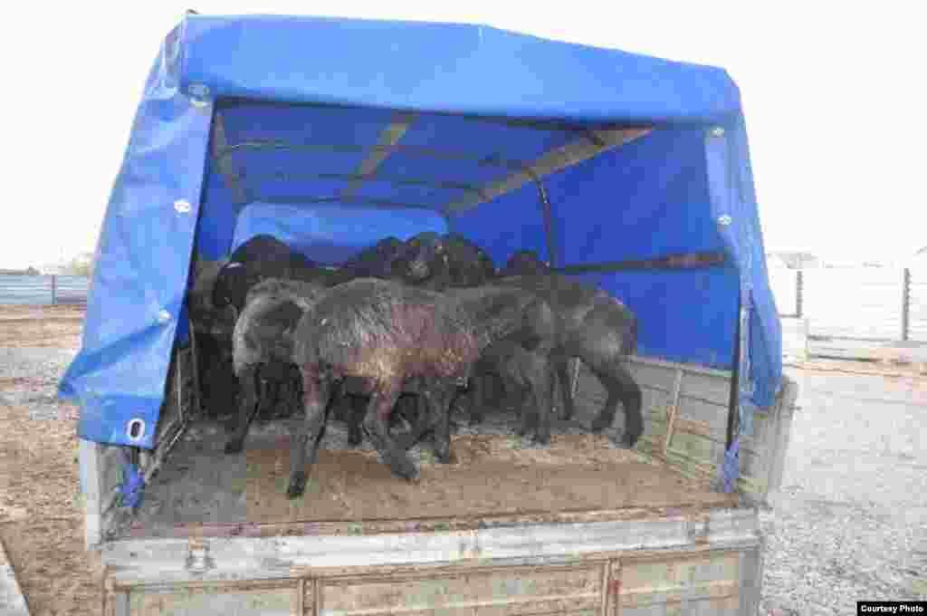 Продавец Азамат Садыков говорит, что за неделю он продал 20 овец и выручил по 1-2 тысячи тенге дохода с каждой головы.