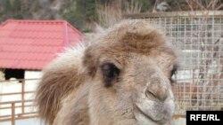 Поки що живий-здоровий верблюд Яша.