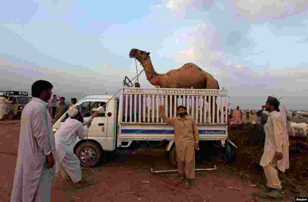 Men pull a sacrificial camel into a vehicle after it was purchased at an animal market ahead of the Eid al-Adha festival in Islamabad, Pakistan. (Reuters/Faisal Mahmood)