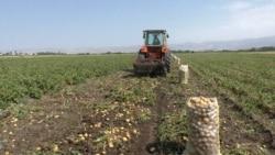 Ոռոգման ջրի պակասն այս տարի ազդել է կարտոֆիլի բերքատվության և գնի վրա