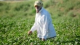 A worker tends to the plants in a cotton field outside Bukhara in August.