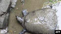 کارشناسان چینی و خارجی مشغول تحقیق در مورد دلیل مرگ یکی از نادرترین گونههای لاکپشت در جهان هستند (عکس ۶ ماه می ۲۰۱۵)