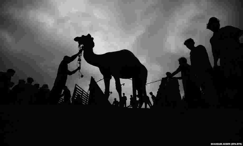 Животные для убоя продаются на местном рынке крупного рогатого скота в преддверии мусульманского фестиваля Ид аль-Адха в Карачи, Пакистан