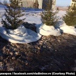 Красноярск, территория общежитий Сибирского федерального университета. Обмотанные искуственным снегом из синтепона ели