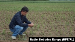 Macedonia - Field sown with maize in Pelagonija.
