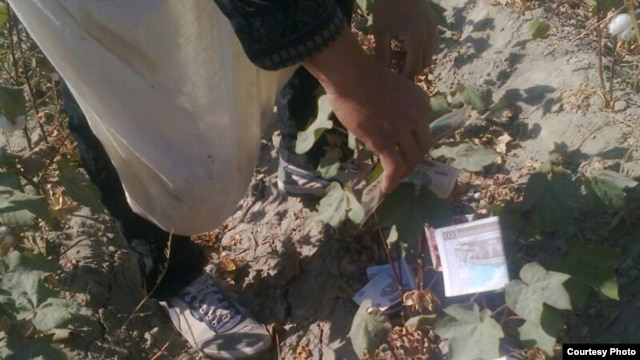 A cotton picker sent RFE/RL this satirical photo of Uzbek money strewn in a cotton field.