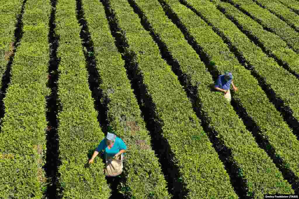 Tea pickers at work on the plantations of a local tea company in the village of Solokhaul outside Sochi, Russia. (TASS/Dmitry Feoktistov)