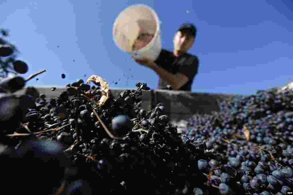 A Georgian villager collects grapes during a harvest near the village of Vazisubani. (epa/Zurab Kurtsikidze)